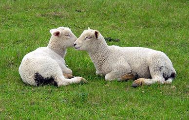 Schafe, vertraut, nett, lustig, idyllisch, Heimat, Schleswig-Holstein, Nordsee, Büsum, Gras, grün, saftig, süss, kuschelig, Paar, Kinder, Ferien, Ferienwohnung, Nordseeküste, Meer, Strand, Urlaub,